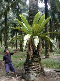 Aplenium_nidus_in_oil_palm_plantation